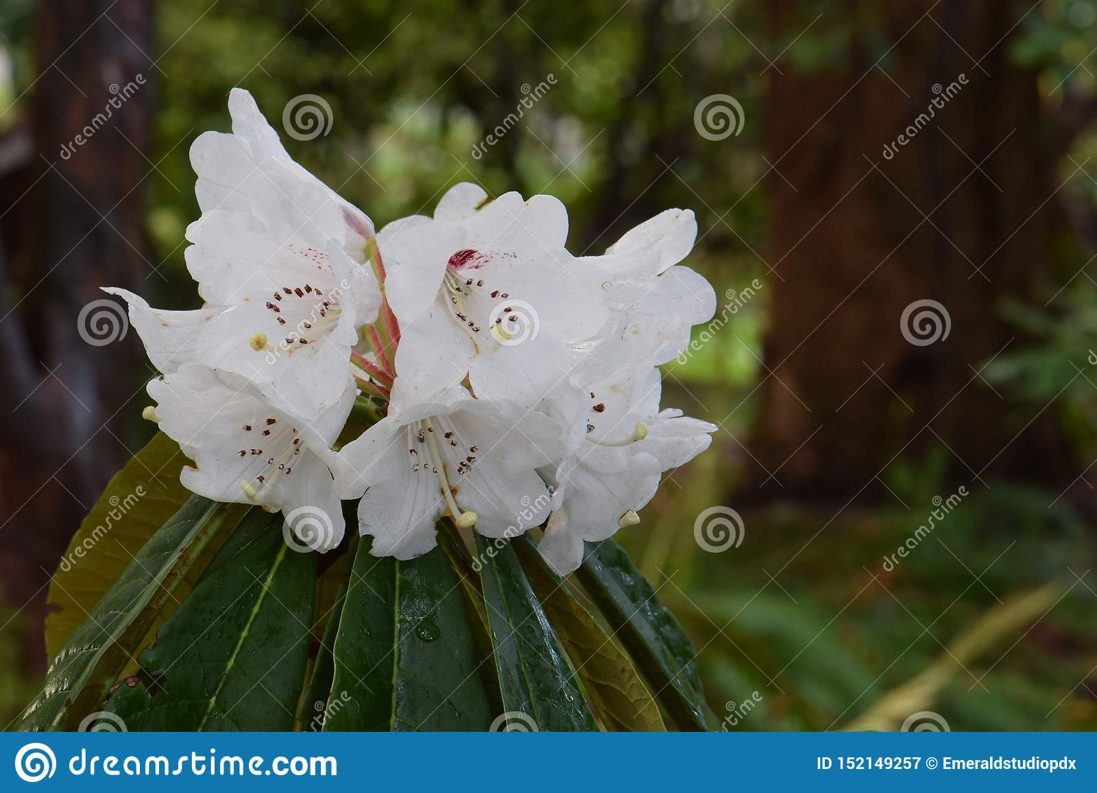Rhododendron Arboreum 02