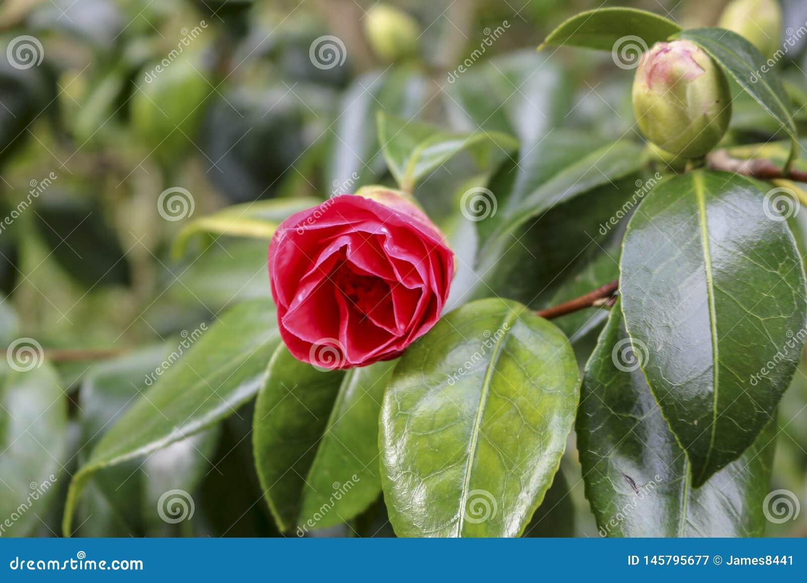 Rhododendron azalea flowers.