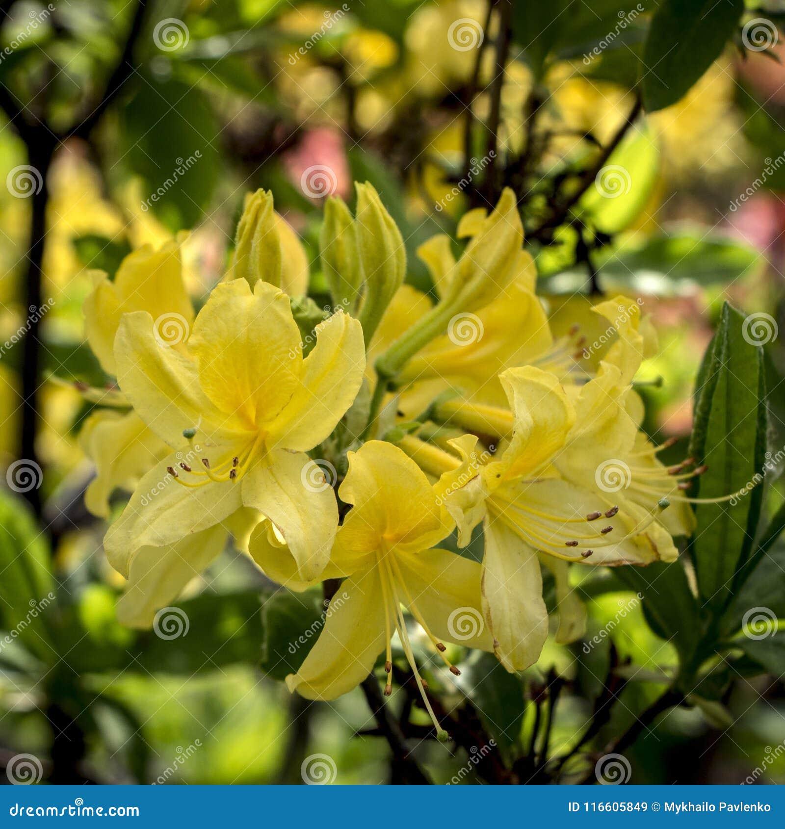 Rhododendron azalea bush with yellow flowers in garden on green download rhododendron azalea bush with yellow flowers in garden on green bokeh backgraund stock image mightylinksfo