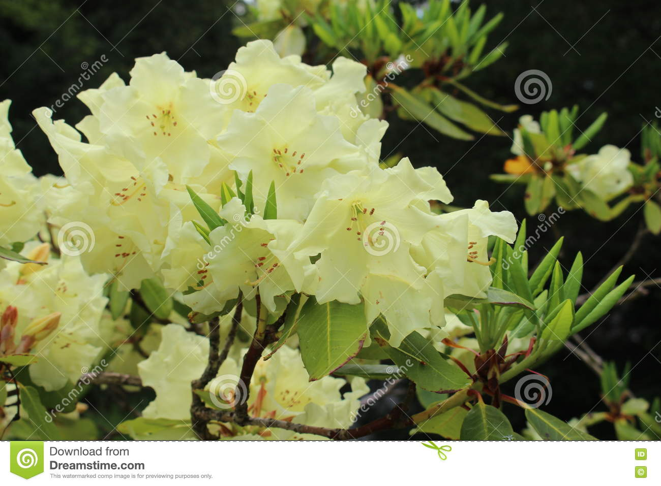 Rhododendron Stock Image Image Of Flowers Garden Plant 73055117
