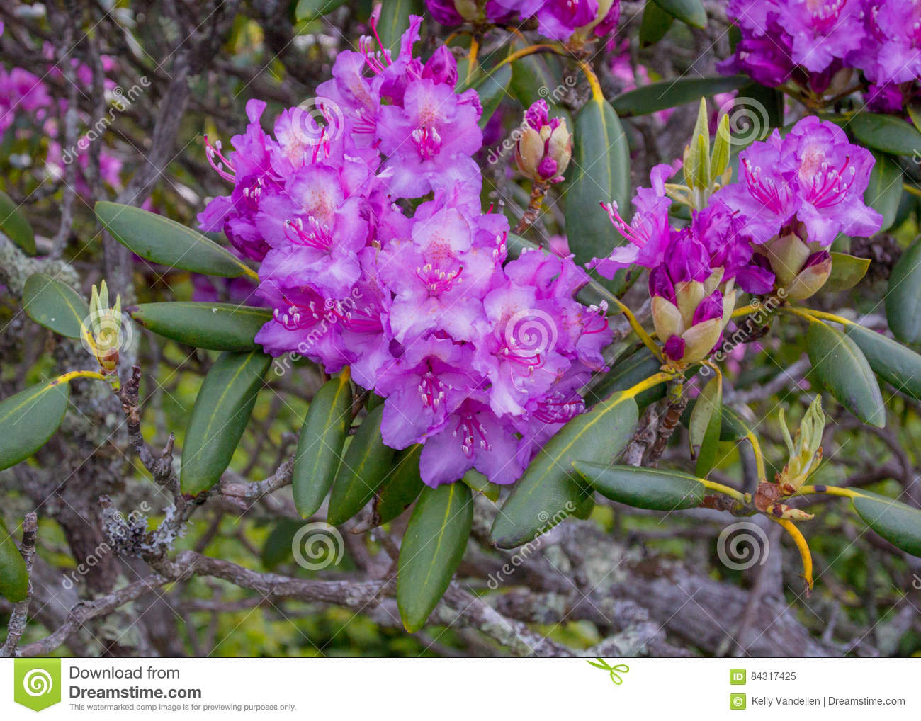 Rhododendron Flowers Bloom In Late Spring Stock Image Image Of