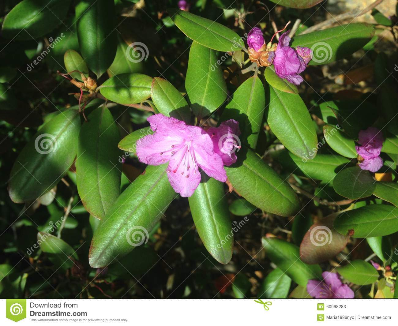 Rhododendron Flowers In The Fall In Central Park Manhattan Stock Im