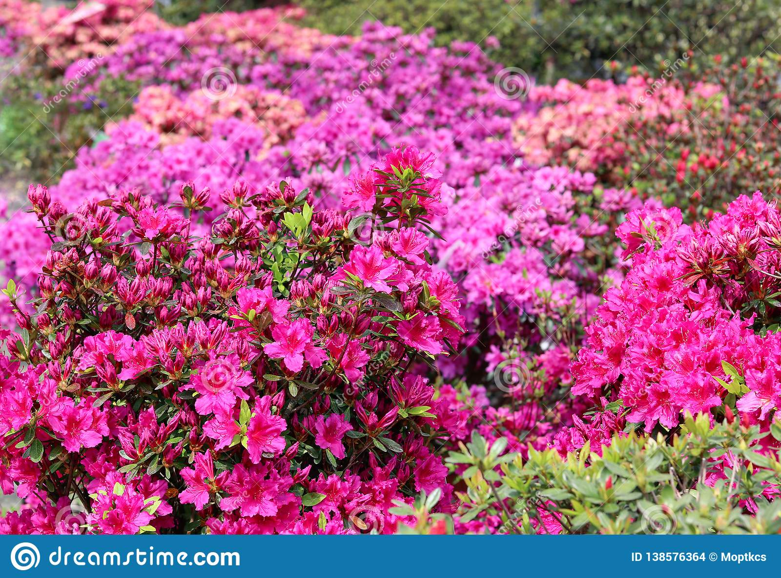 Rhododendron in full bloom with bright pink, coral and magenta flowers. Blooming azalea bushes with plenty of buds and flowers