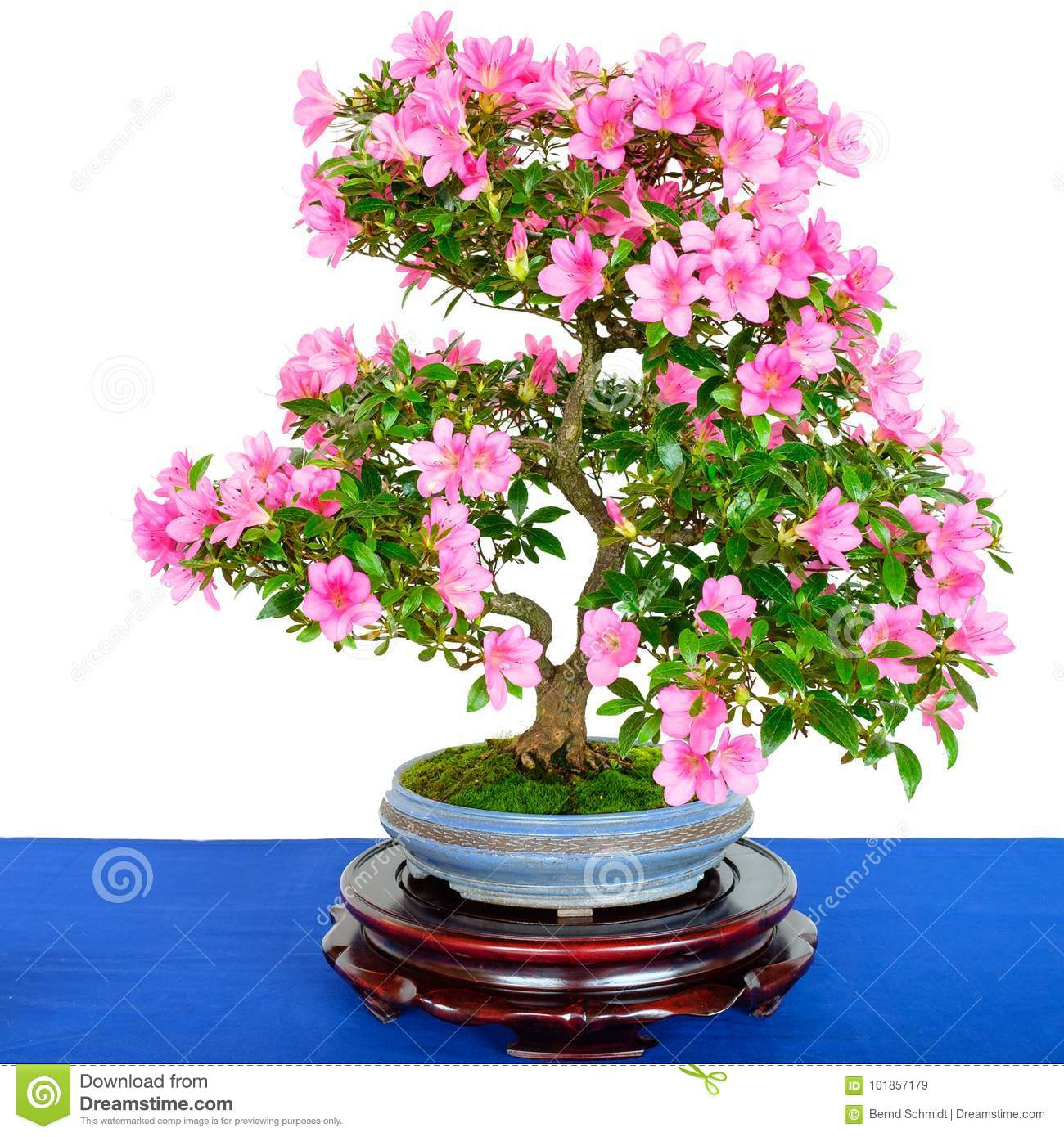 Rhododendron Indicum Bonsai Tree With Pink Flowers Stock Image