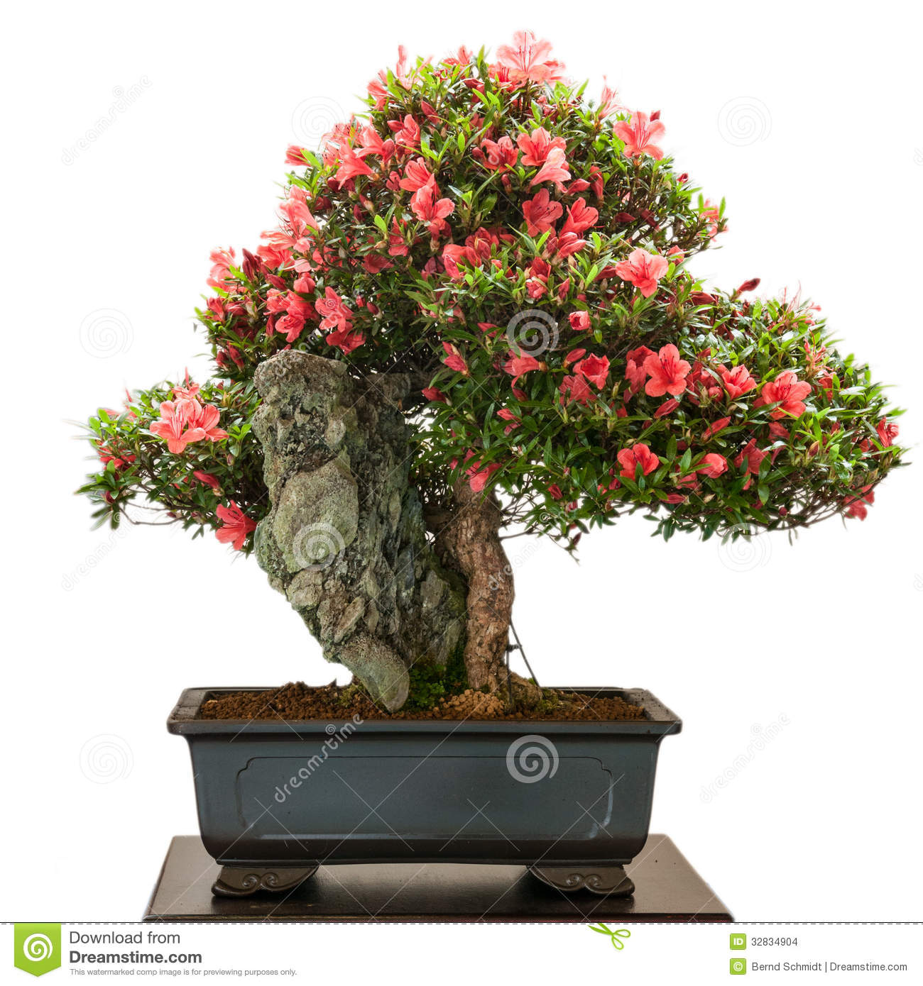 Rhododendron Indicum Bonsai Tree With Red Flowers Stock Photo