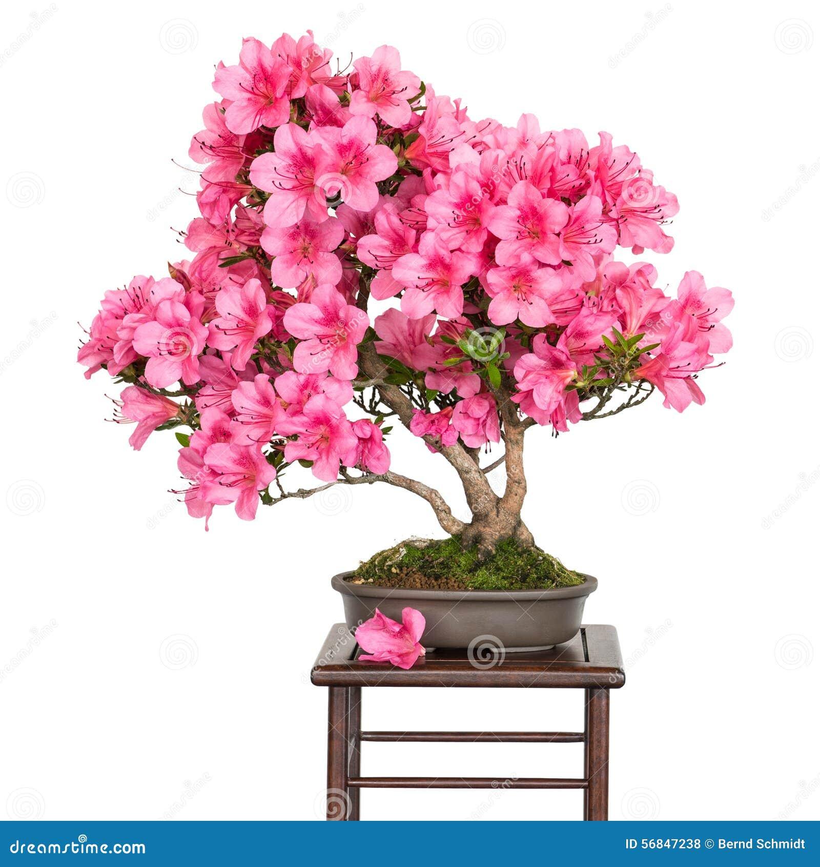 Rhododendron indicum osakazuki as bonsai tree stock photo - Rododendro arbol ...