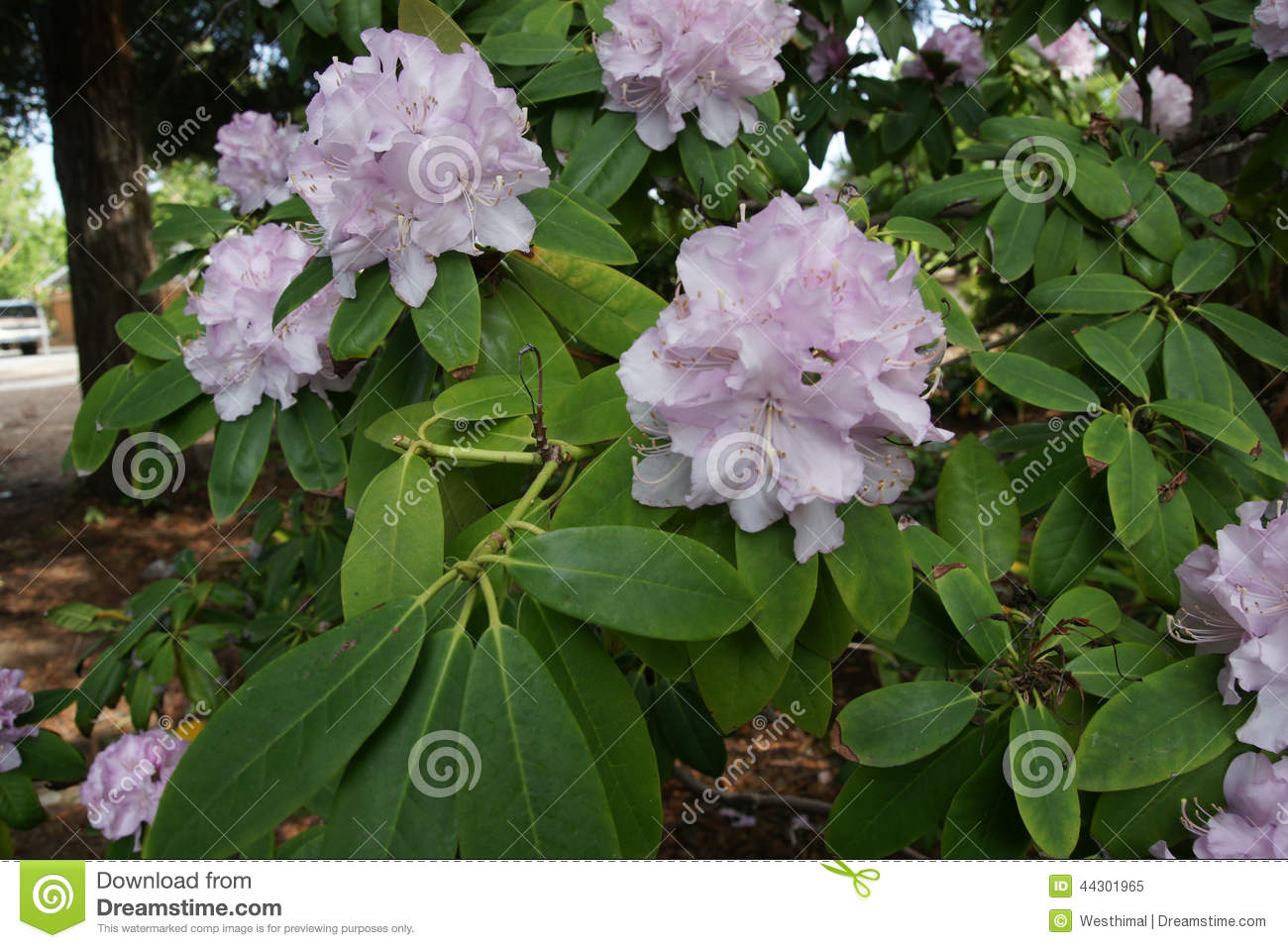 Rhododendron pale pink stock photo image 44301965 for Pink small tree