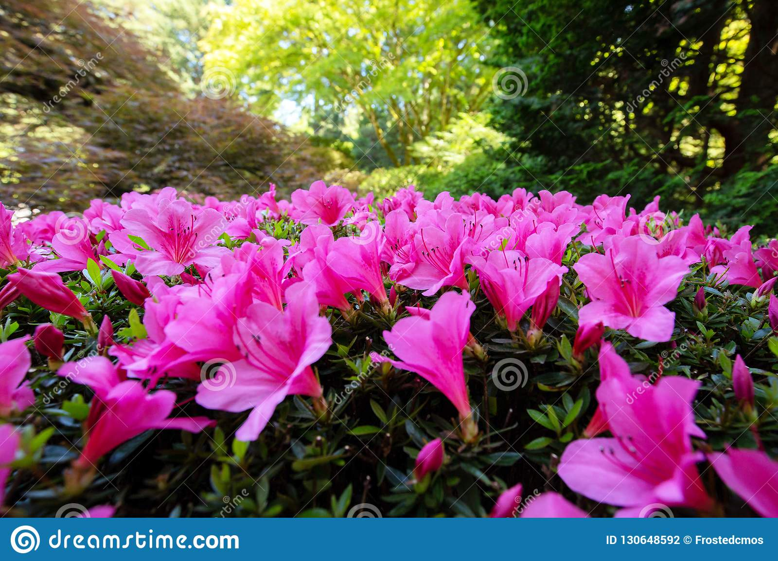 Rhododendron Pink Flower Bush Up Close Stock Photo Image Of Bush