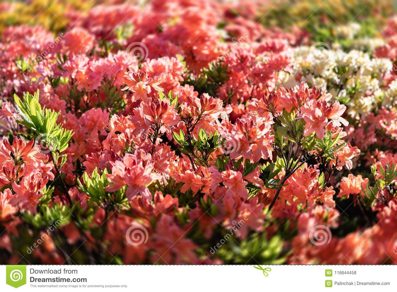 Rhododendron Plants In Bloom Stock Photo - Image of natural, botanic ...
