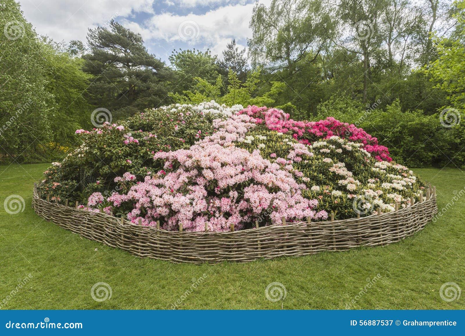 Rhododendronblomsterrabatt, Isabella Plantation, Richmond Park