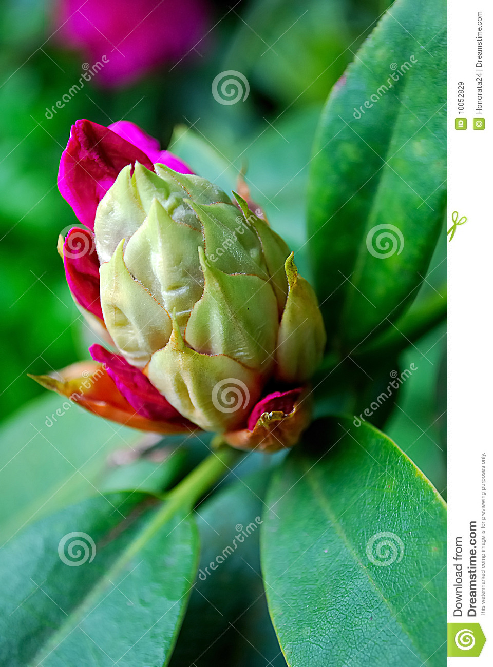 Rhododendronblume