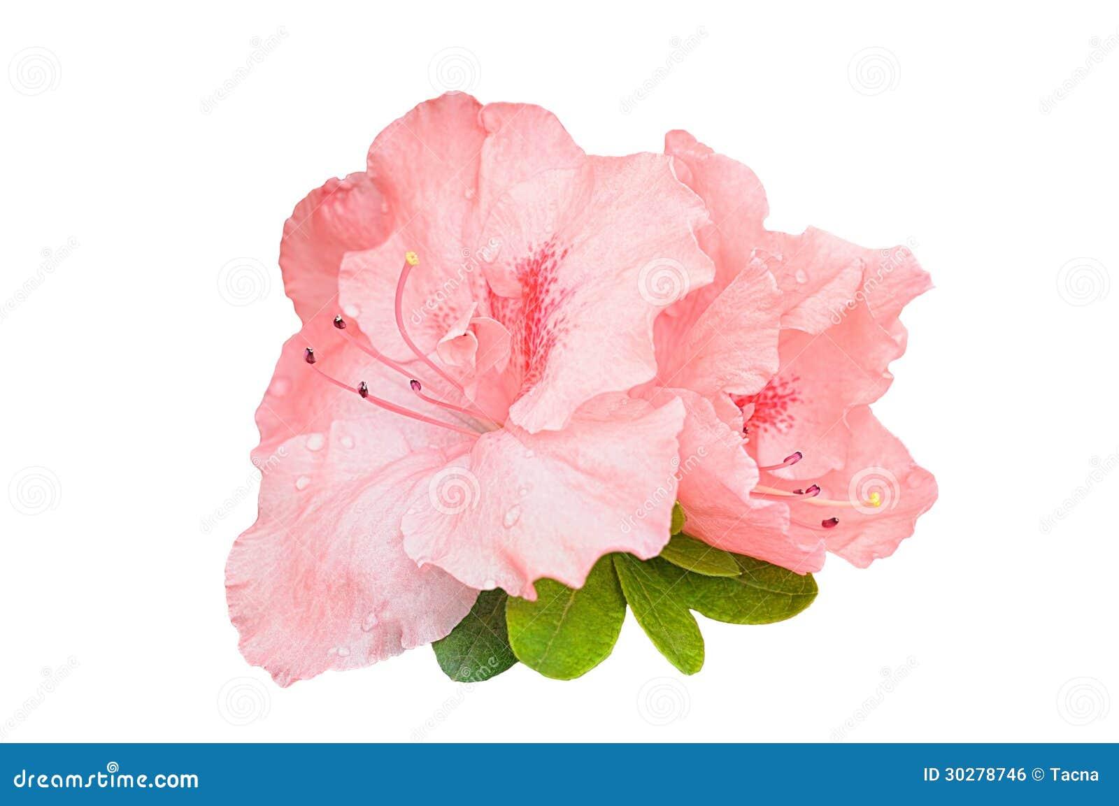 Rhododenrdon花