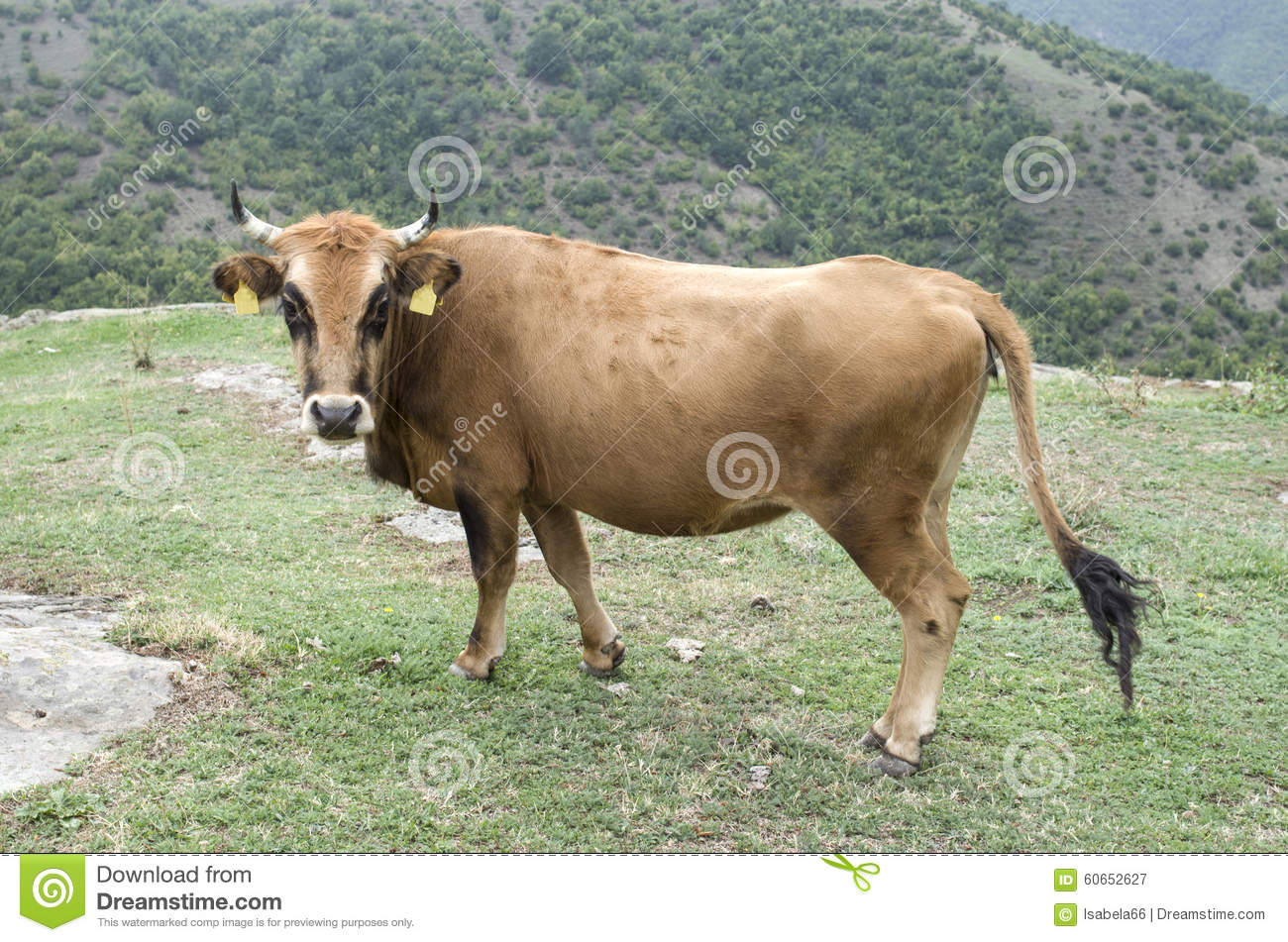 Rhodope Shorthorn Cattle On The Mountain Meadow Bulgaria