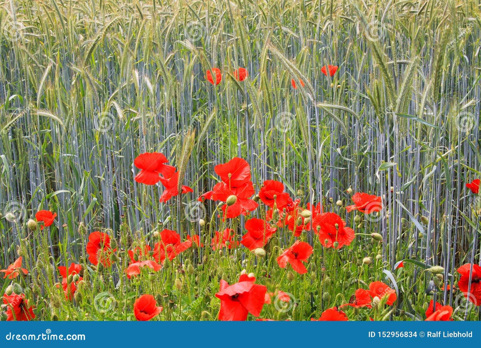 Rhoeas rossi di fioritura del papavero dei fiori dei papaveri nel giacimento di grano alla luce solare luminosa di estate - Germa