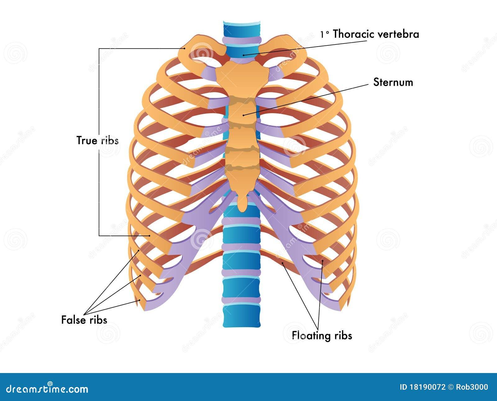Duele los riñones y la parte inferior del vientre en 12 semana