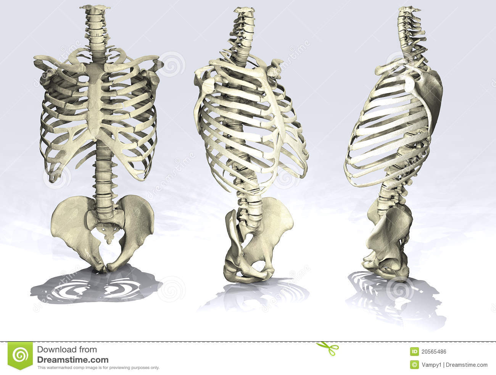 rib cage royalty free stock image - image: 20565486, Skeleton