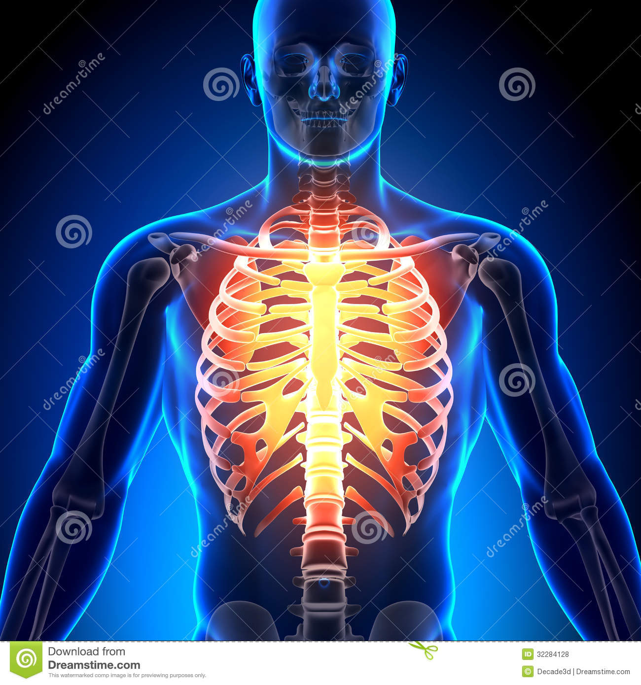 Rib Cage - Anatomy Bones stock photo. Image of person - 32284128