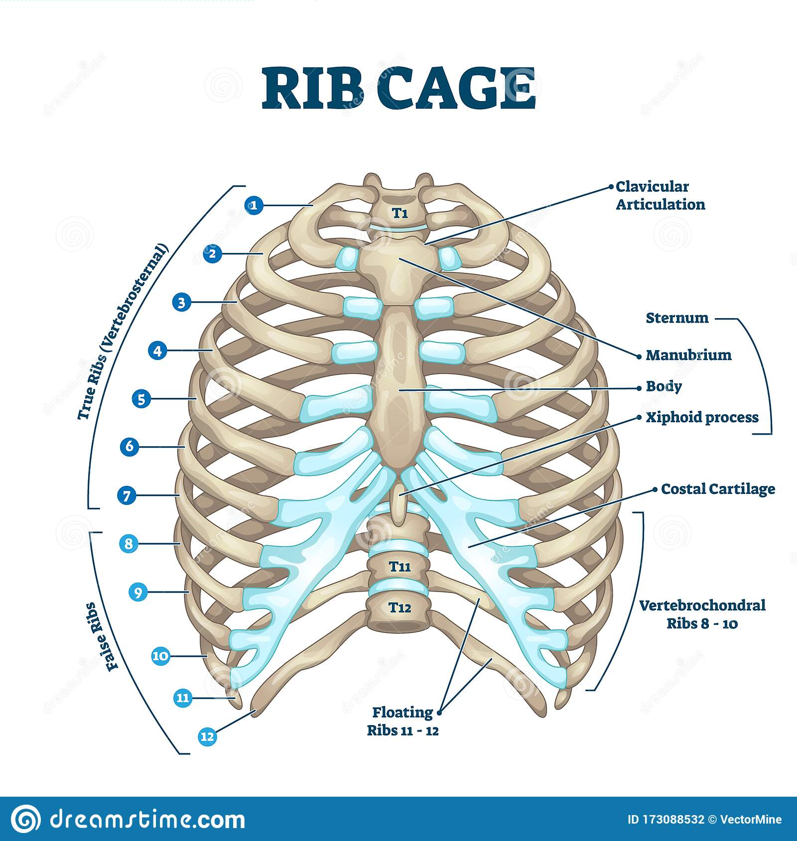 Rib Cage Anatomy  Labeled Vector Illustration Diagram