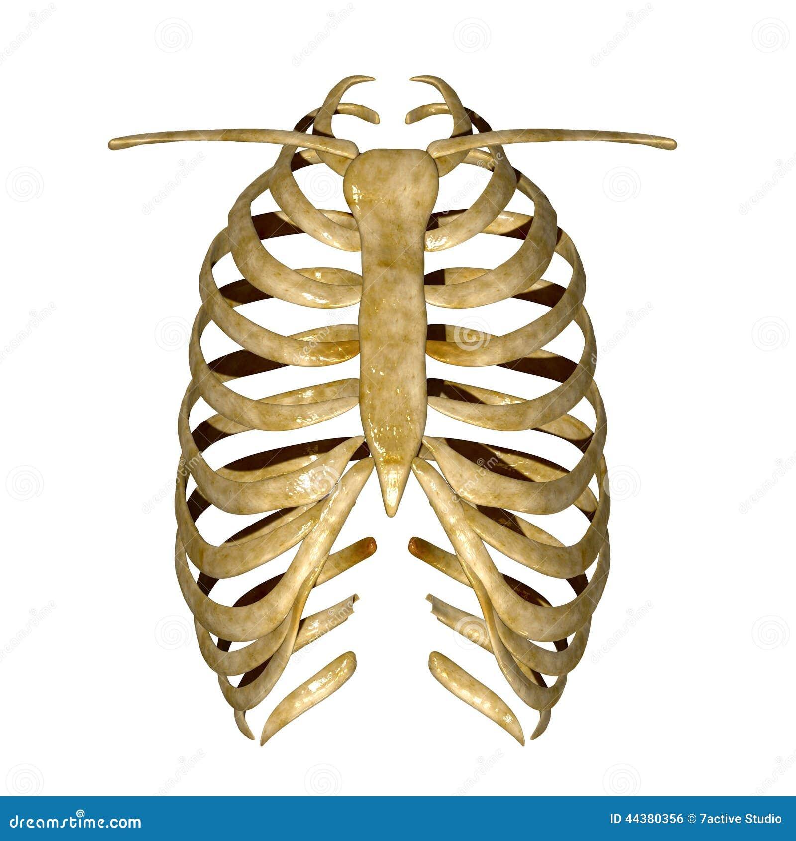 Stock Illustration Rib Cage Arrangement Bones Thorax All Vertebrates Except L rey Formed Vertebral Column Image44380356