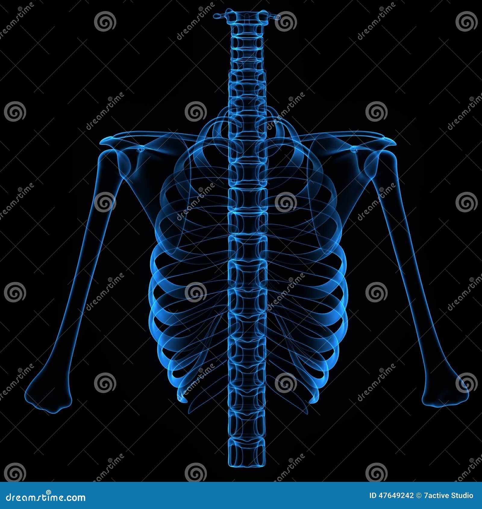 Rib Cage Back Bone And Humerus Stock Illustration Illustration Of