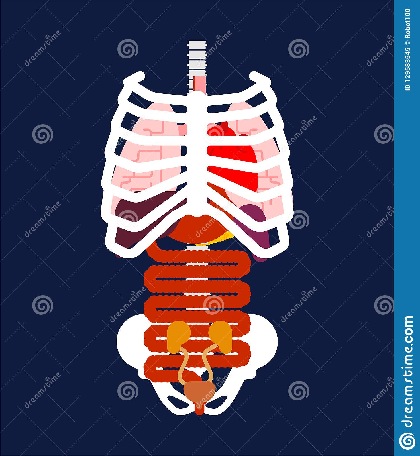Rib Cage And Internal Organs Human Anatomy Systems Of Man Body Stock Vector Illustration Of Cage Medical 129583545