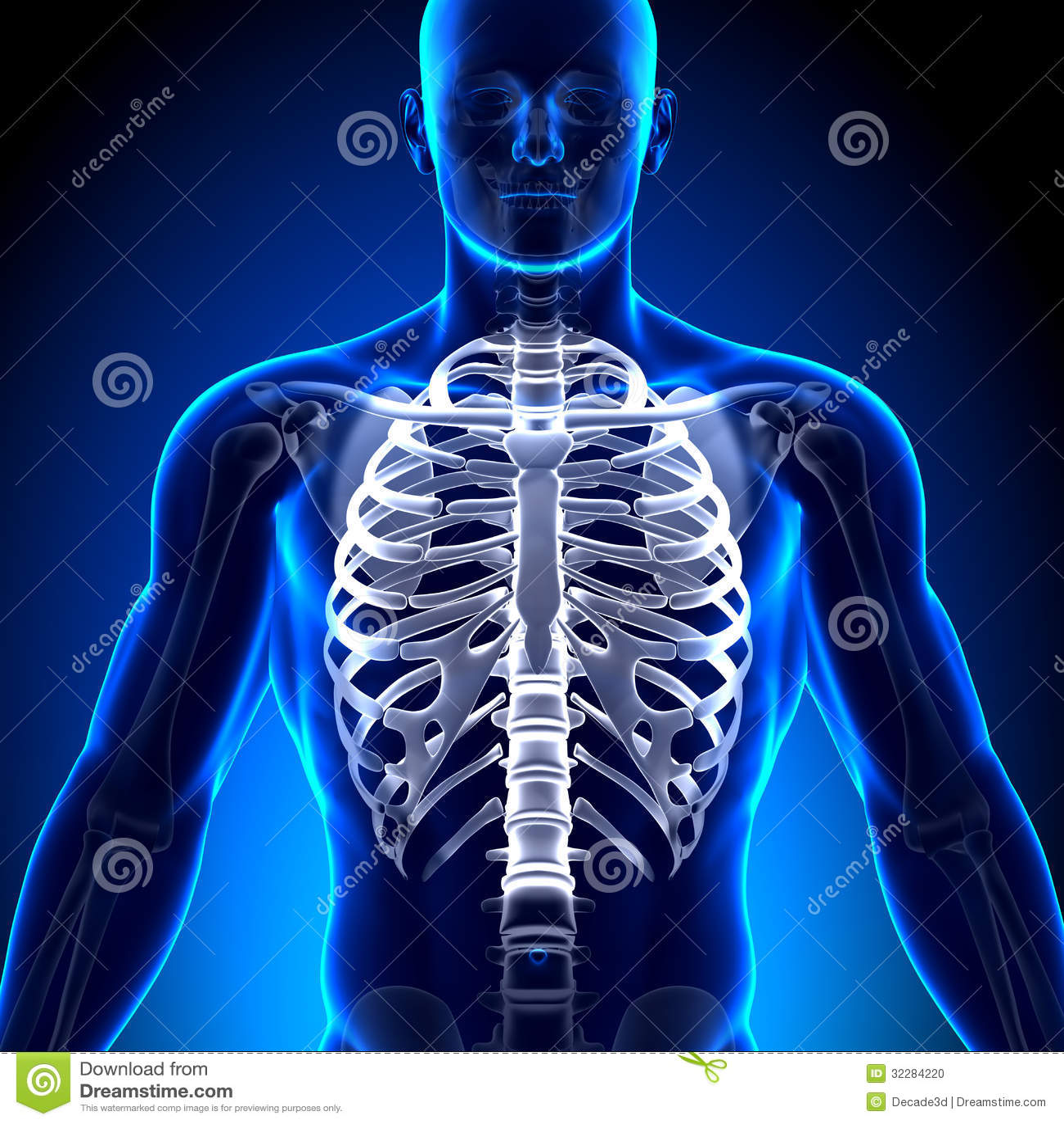 Rib Cage / Sternum - Anatomy Bones Stock Illustration - Illustration ...