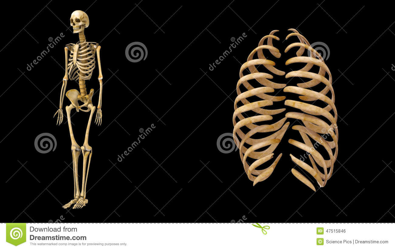 Rib cage stock footage. Illustration of medicine, bones - 47515846