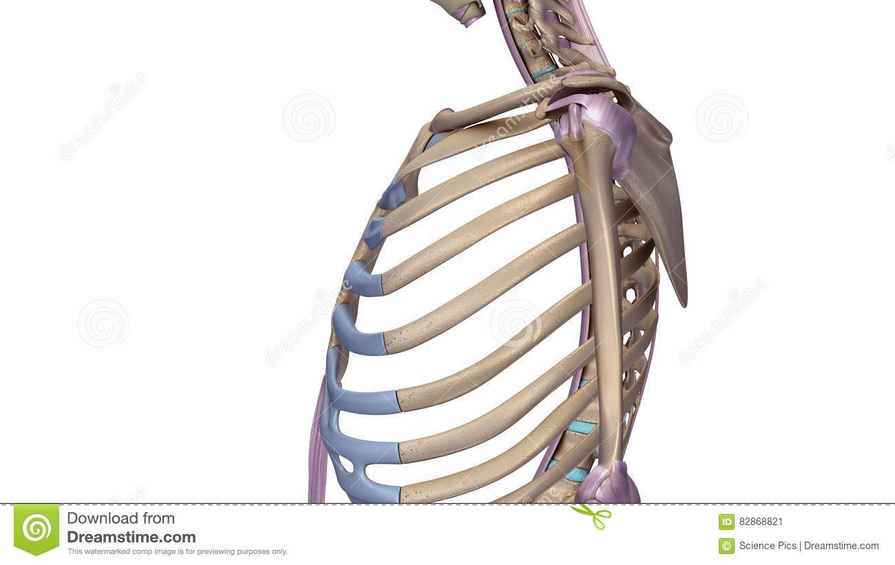 Ribcage With Ligaments Stock Illustration - Image: 82868821