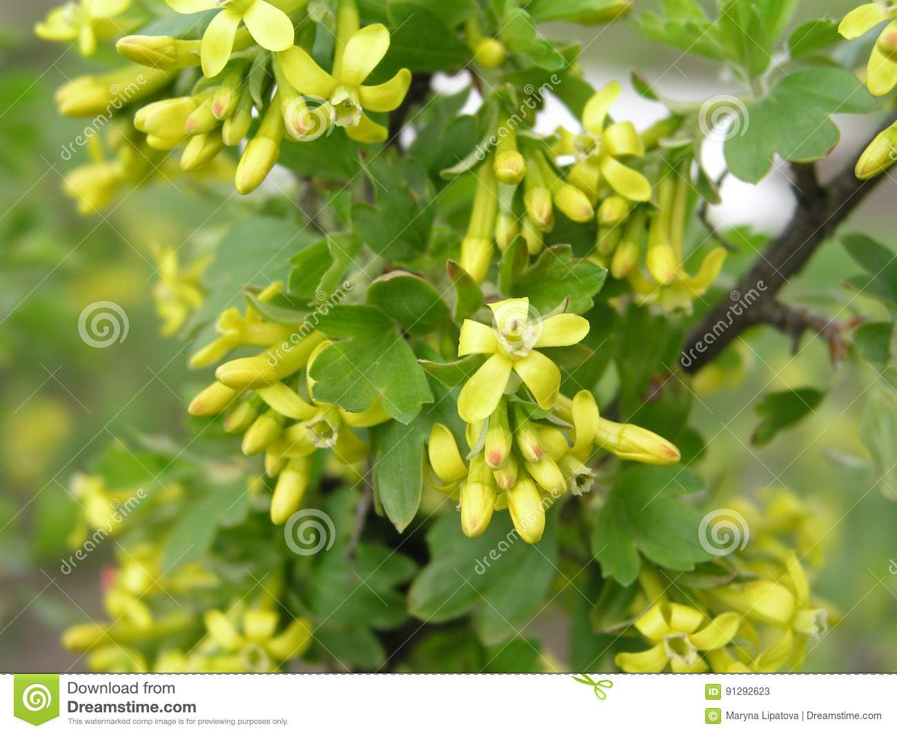 Ribes Aureum Yellow Currant Clove Currant Pruterberry And Buffalo