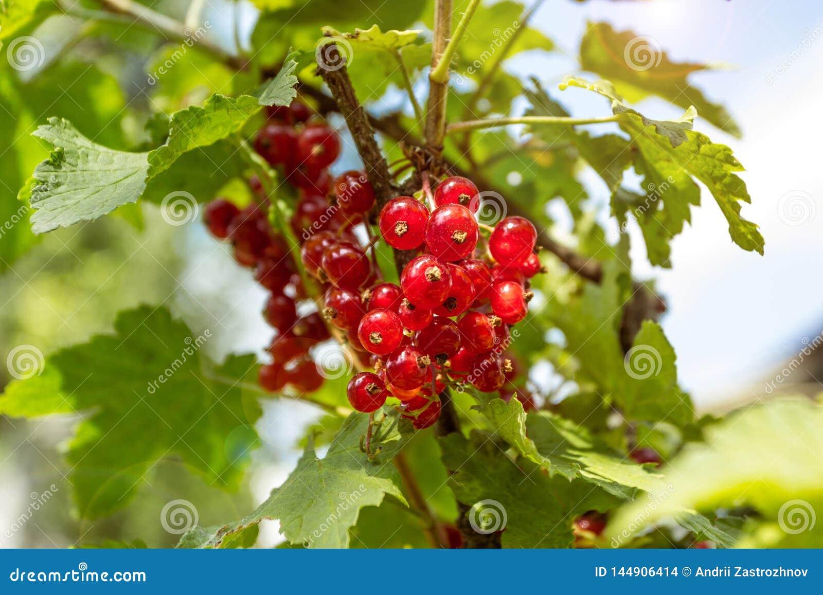 Ribes rosso nel giardino, primo piano