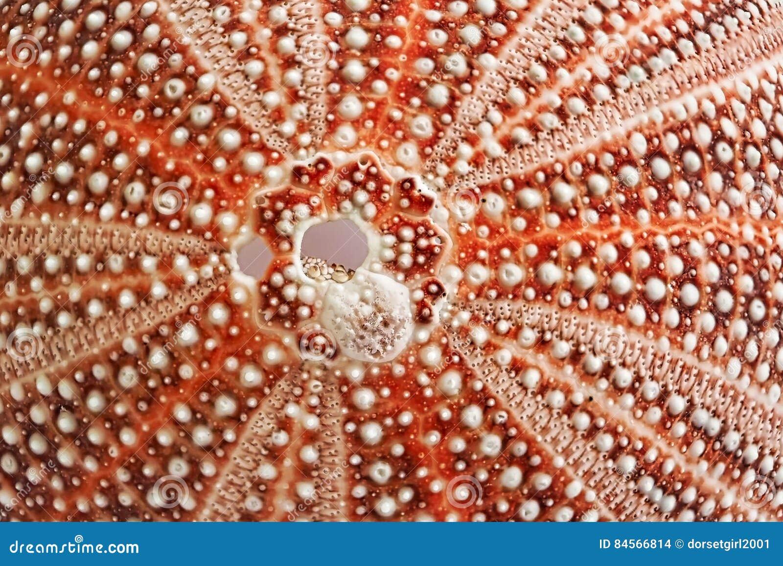 Riccio di mare Shell - modelli in natura