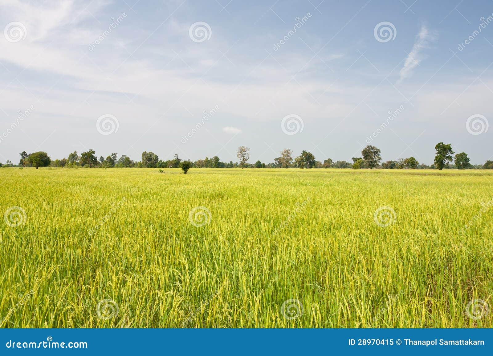 Rice śródpolny tło