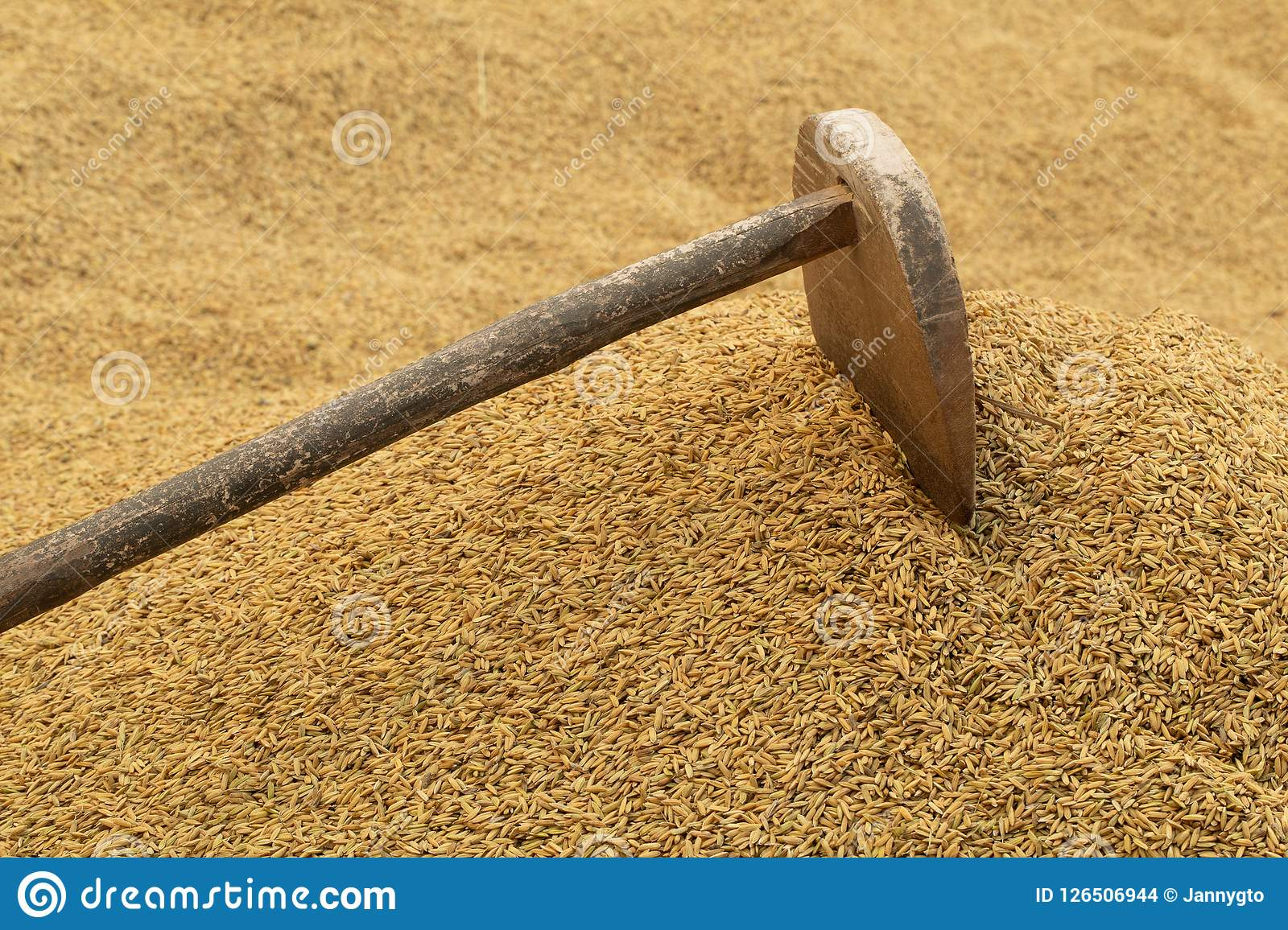 rice farm ancient agriculture tools on paddy background farme
