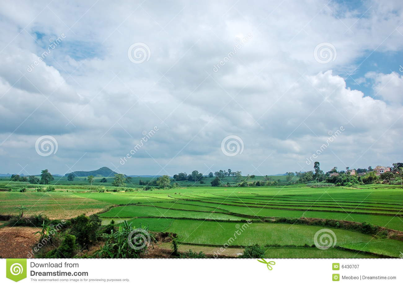 Rice field and the blue sky