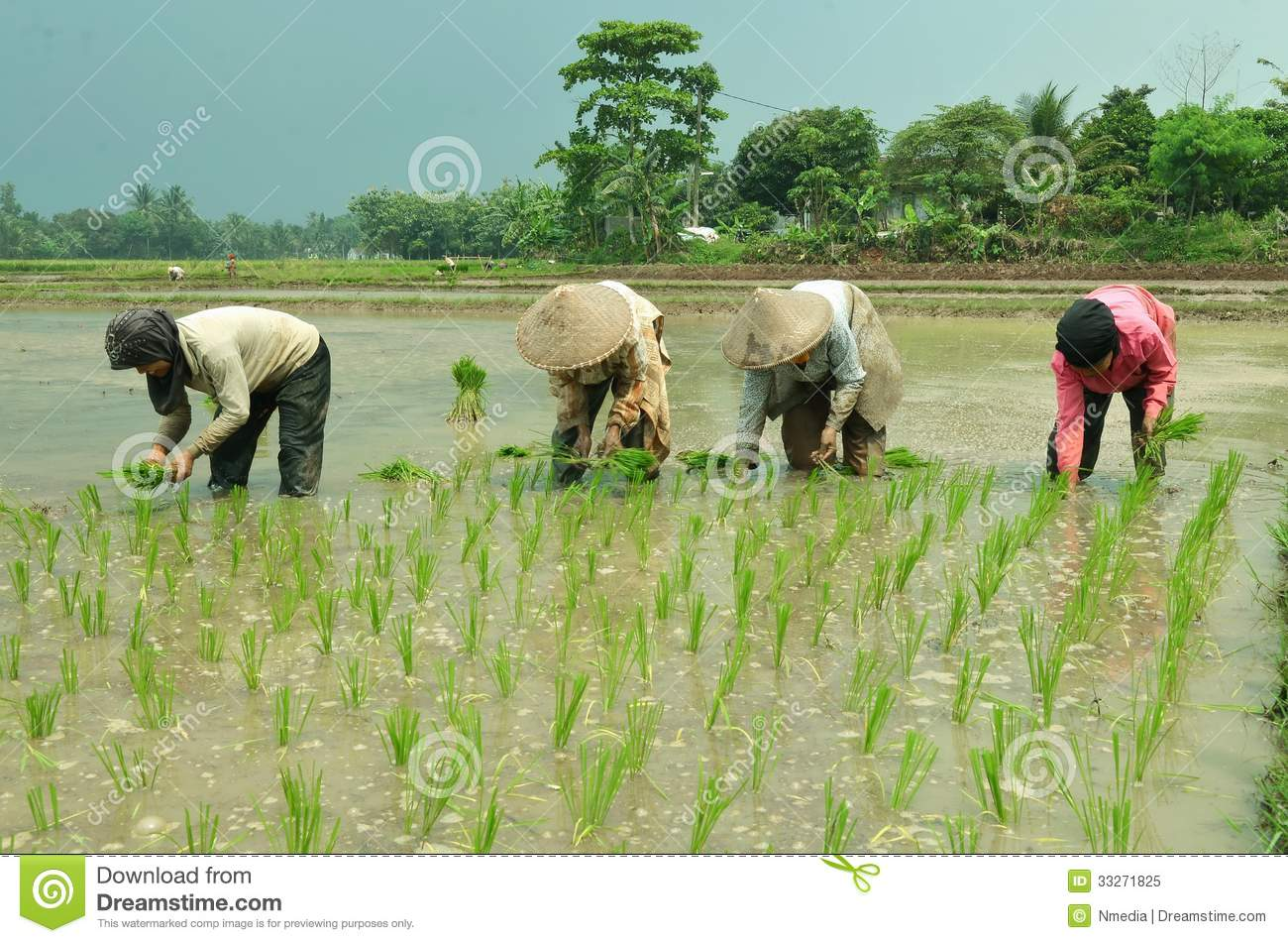 Agriculture related images women working on rice field picture taken