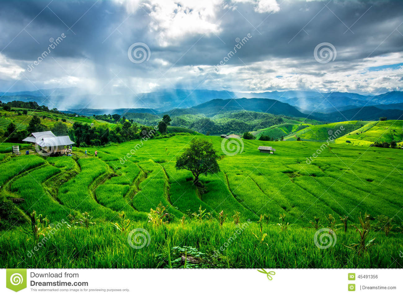 Download Rice Field stock photo. Image of country, green, farming - 45491356