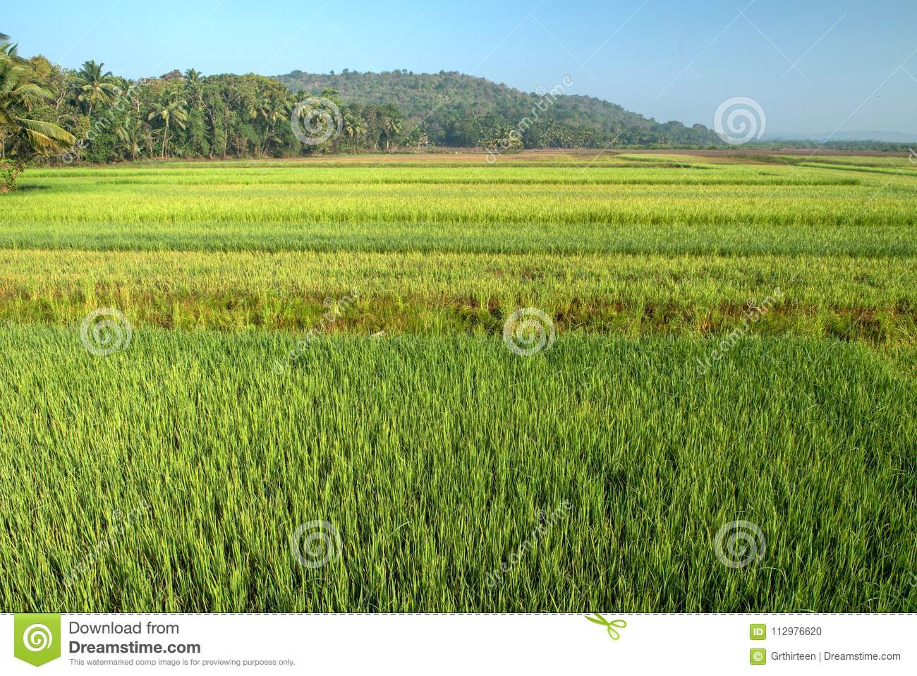 Rice field in India at morning.
