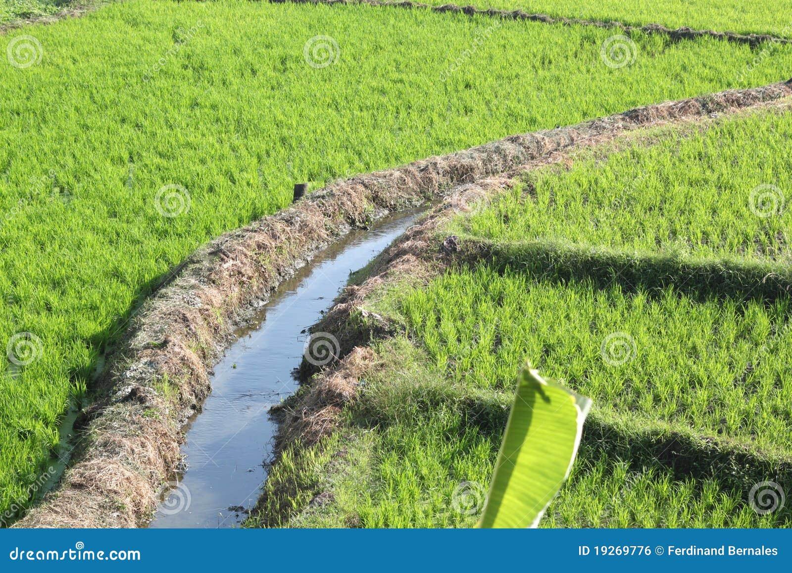 Rice Field Irrigation stock photo. Image of food, farm ...