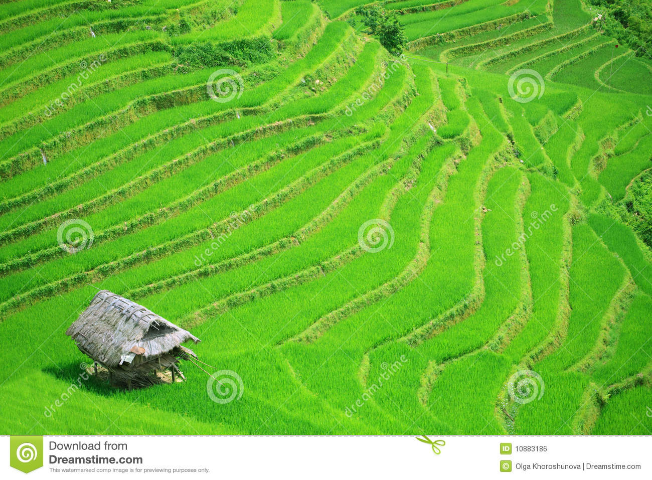 Download Rice field terraces stock photo. Image of paddy, house - 10883186