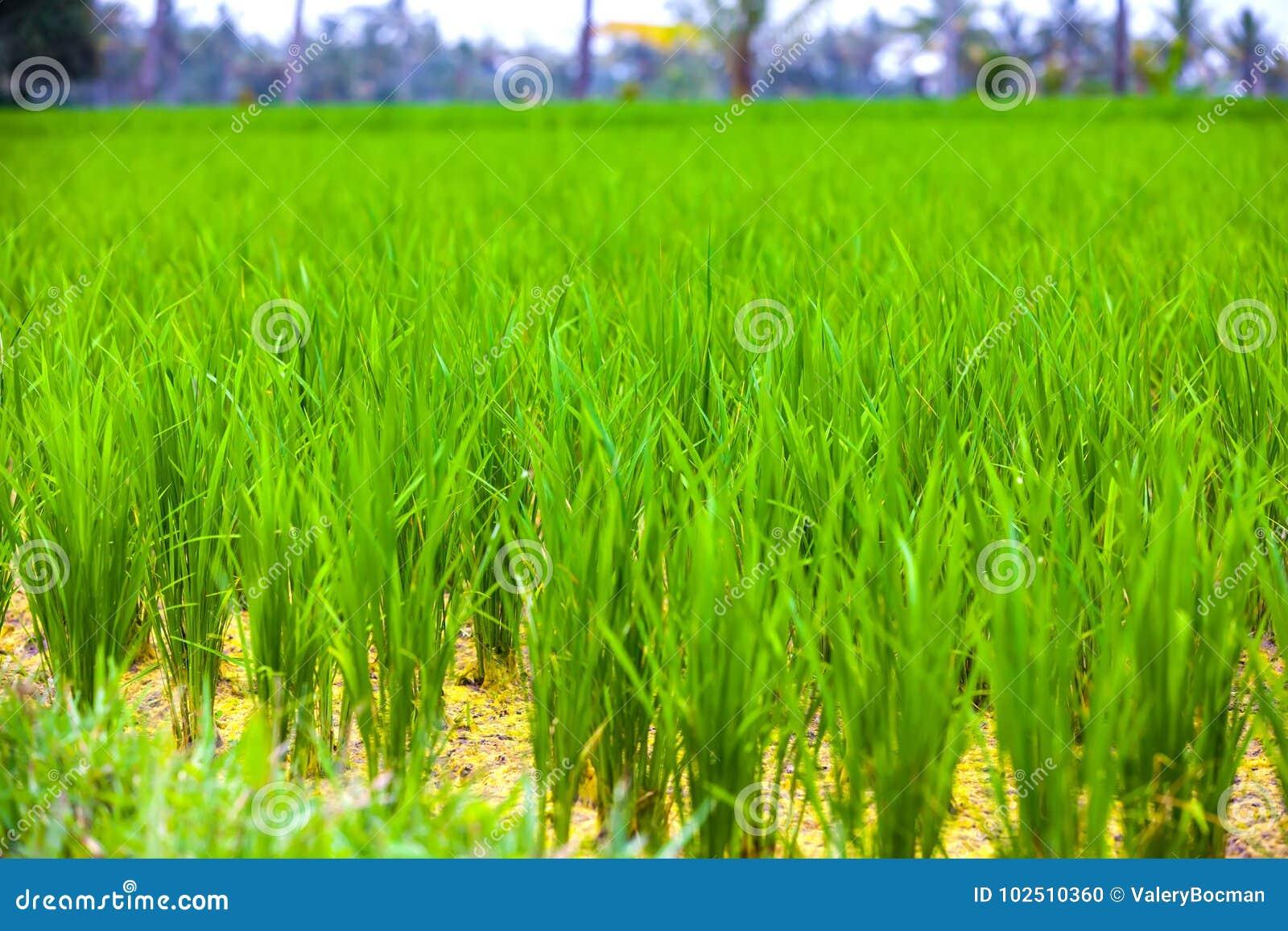 Rice fields in Bali island, Ubud, Indonesia.