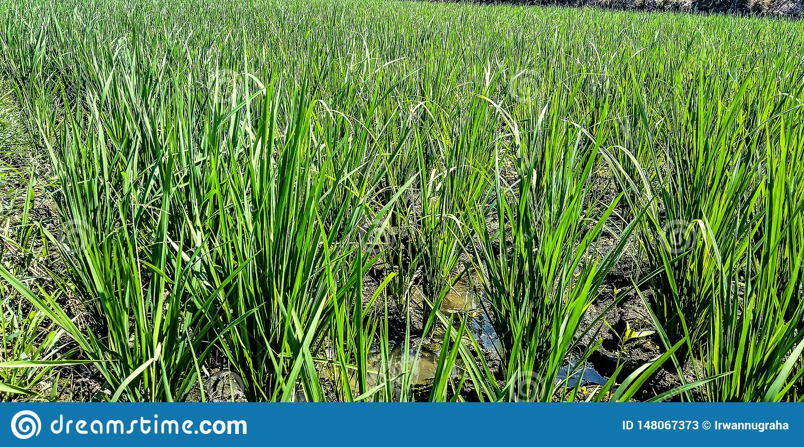 Rice fields with dry water