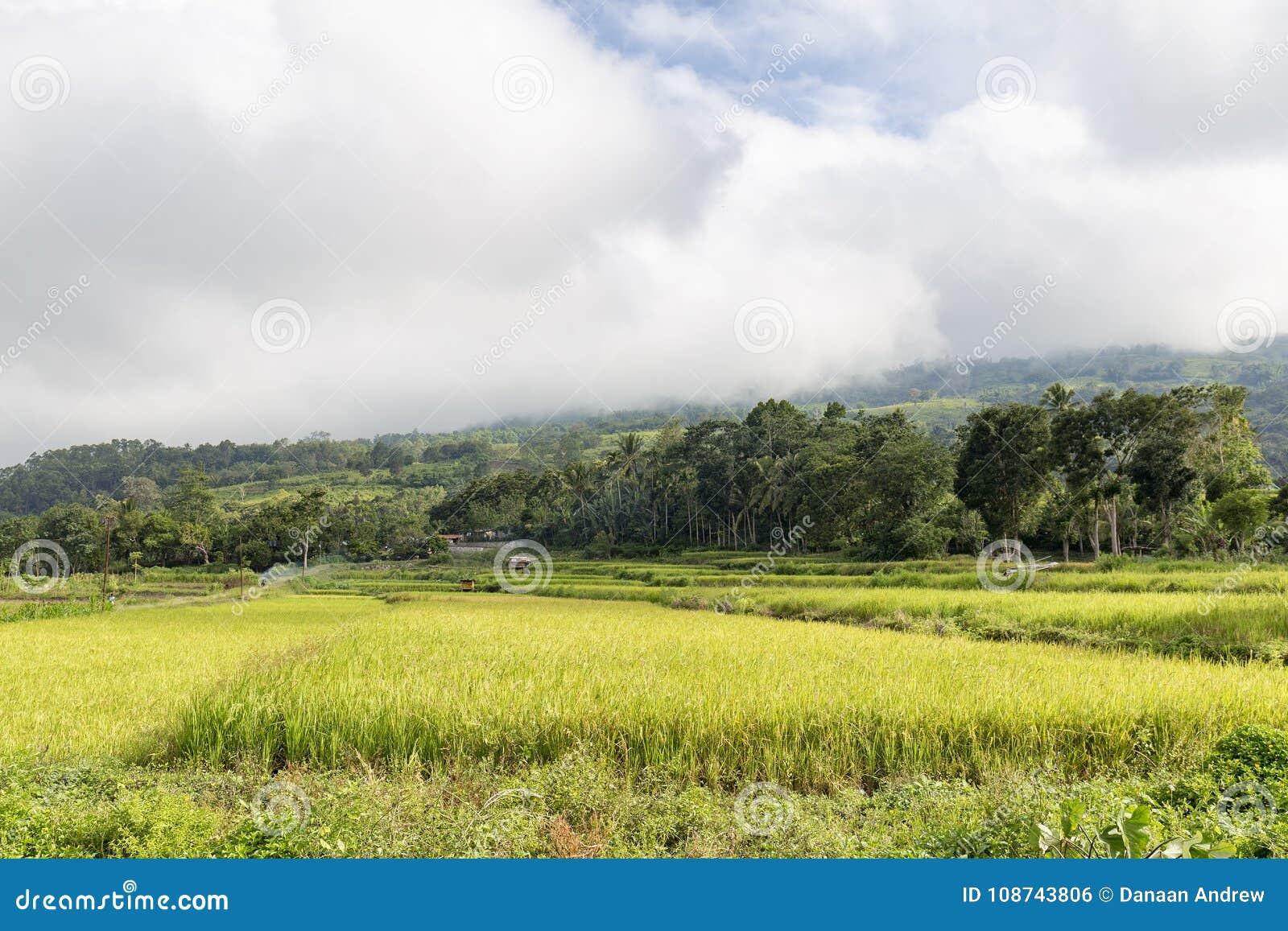 Rice fields in Moni