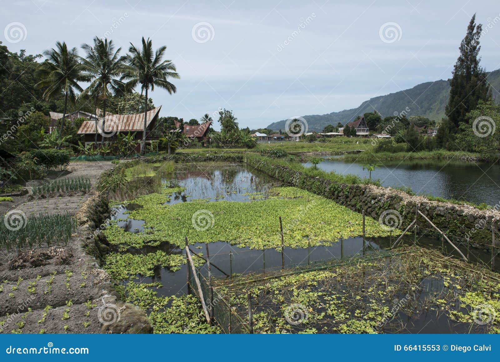 Rice fields at Toba Lake, Sumatra