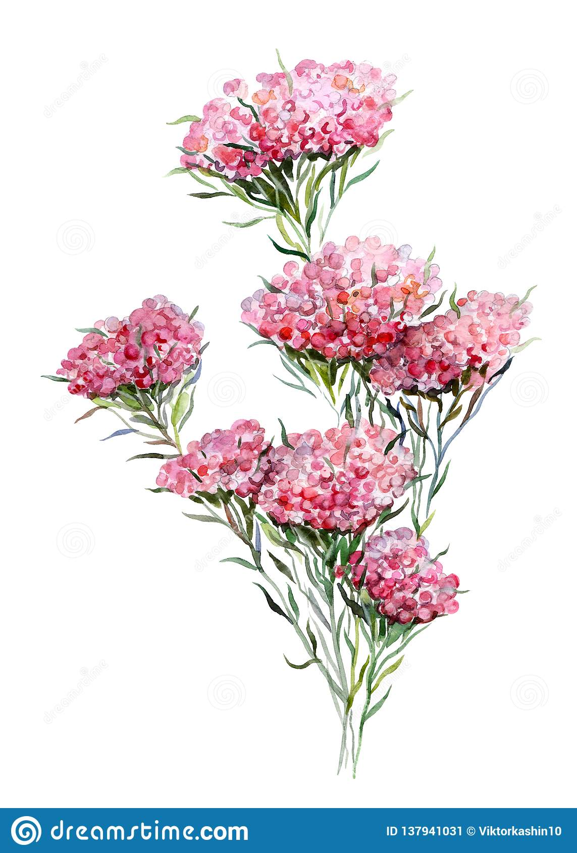 Rice flower. Handdrawn watercolor illustration of plants. Object isolated. Element for design of greeting cards.