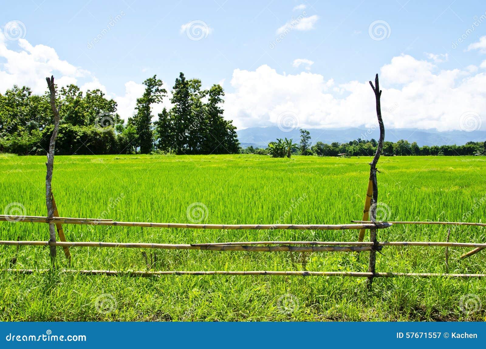 Rice gospodarstwo rolne dziewięć