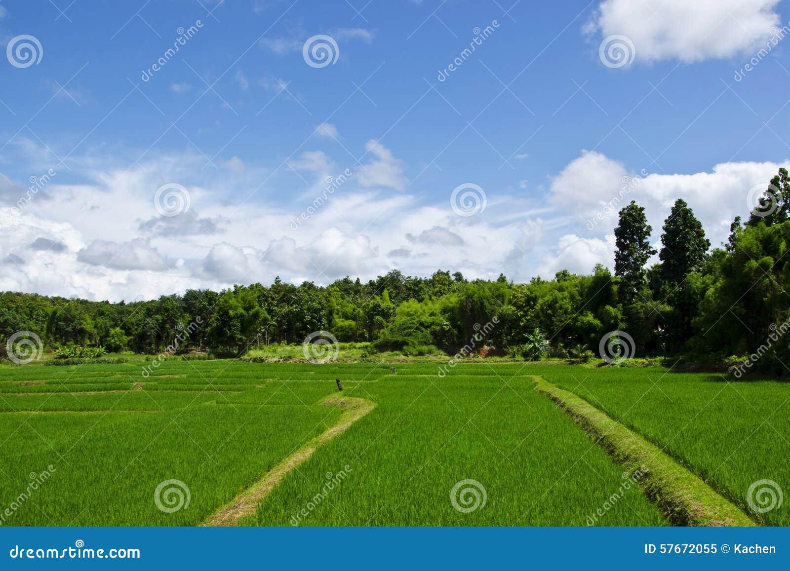 Rice gospodarstwo rolne jeden