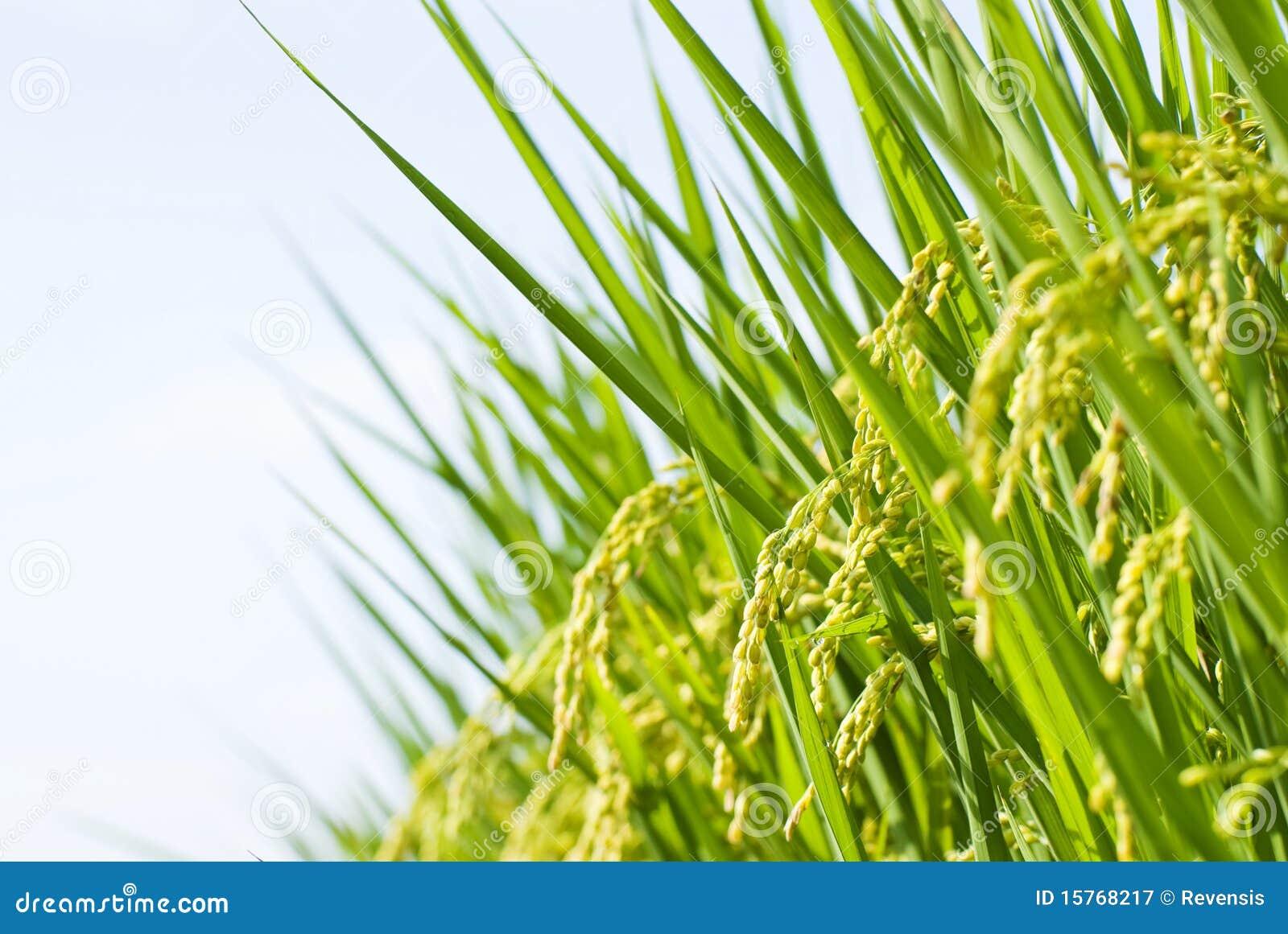 Rice business plan