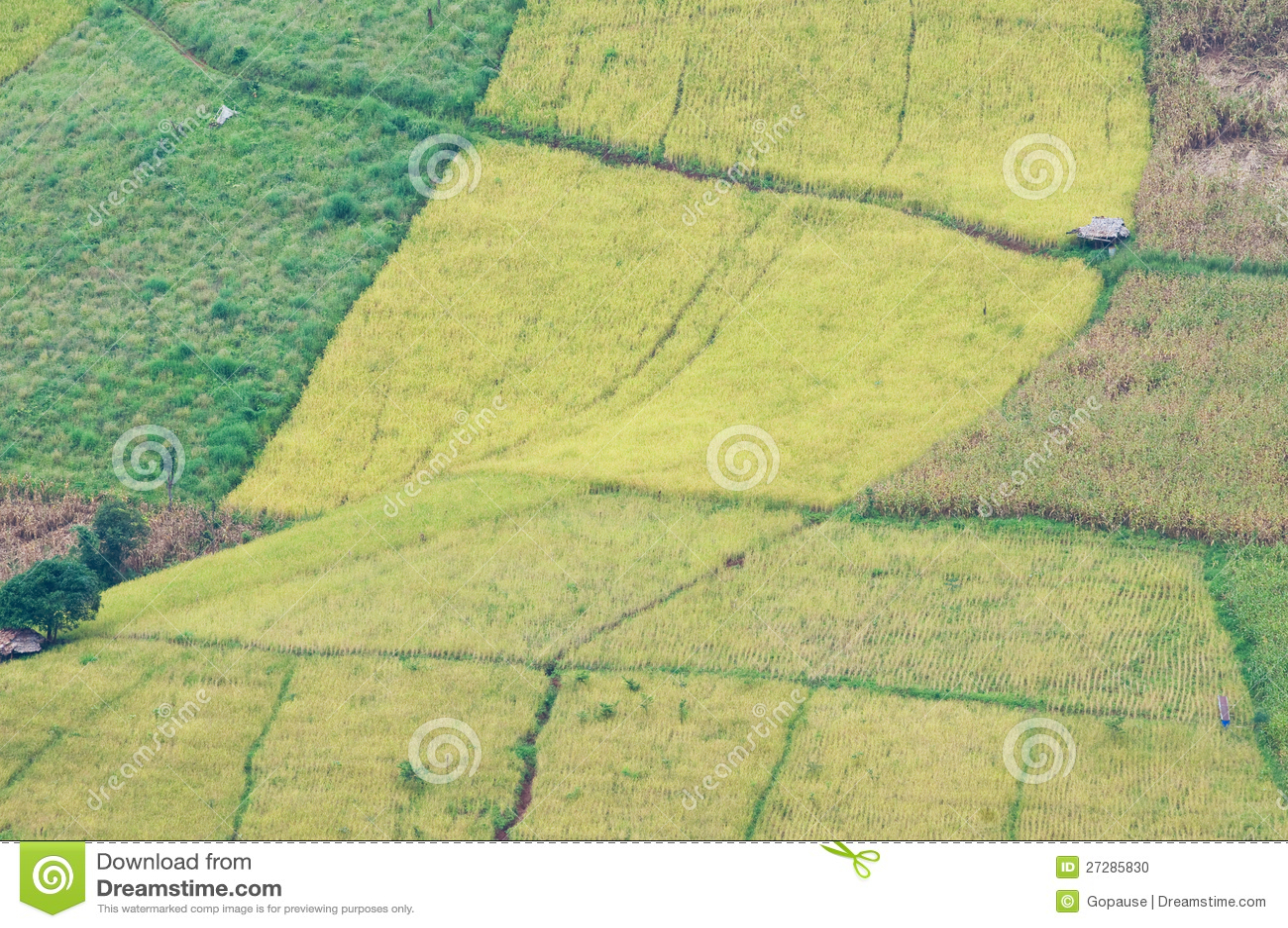 Rice och havrefält