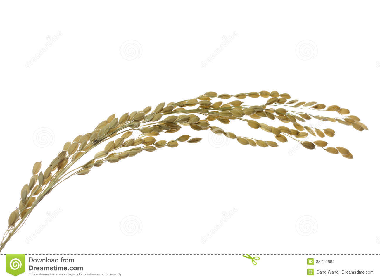 Rice seed for planting - Rice