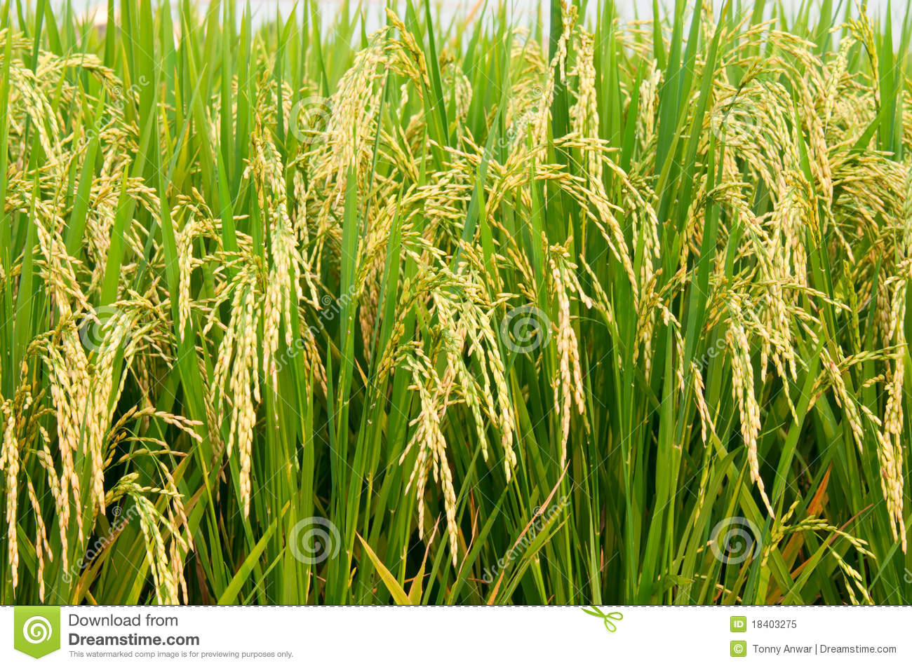 Rice Padi Royalty Free Stock Photo - Image: 18403275
